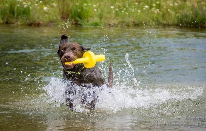 Voll in seinem Element - junger Labrador-Rüde