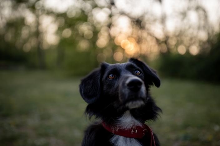Hundeportrait gegen die untergehende Sonne am Löberwallgraben in Erfurt fotografiert Canon EOSR & CANON EF 35mm MKII