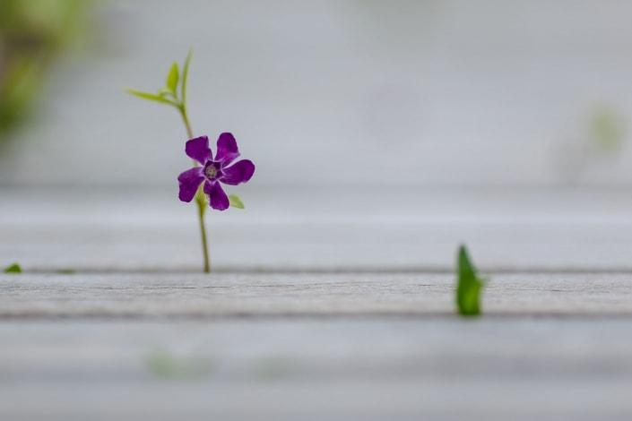 Blume wächst durch eine Bank fotografiert im April 2021 mit der EOS R6 & dem EF 135mm f2.0