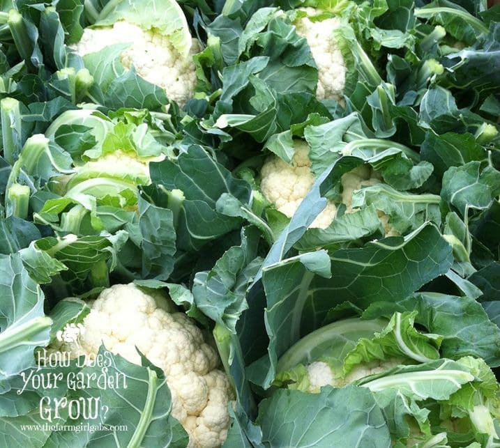 Cauliflower grown at Russo's Fruit & Vegetable Farm