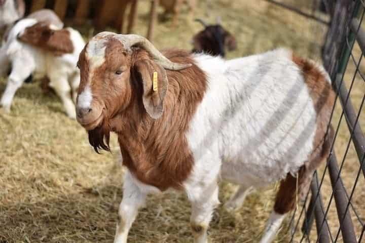 large male Boer goat