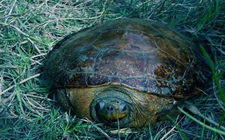 Batagur Baska Turtle