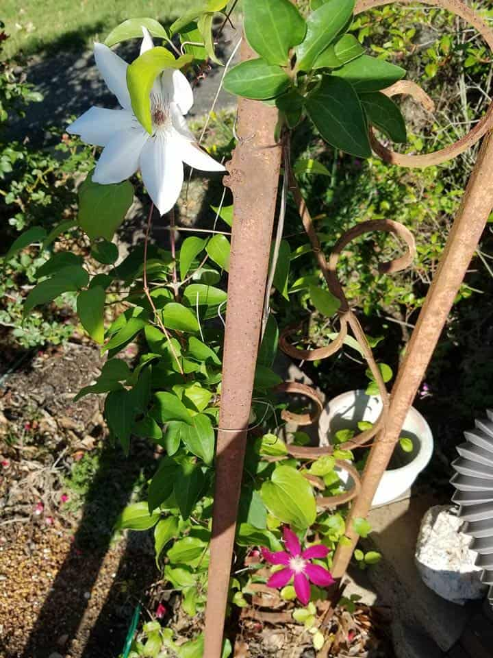 How to get beautiful clematis blooms, Clematis, White Clematis, Red Clematis, Henryi Clematis