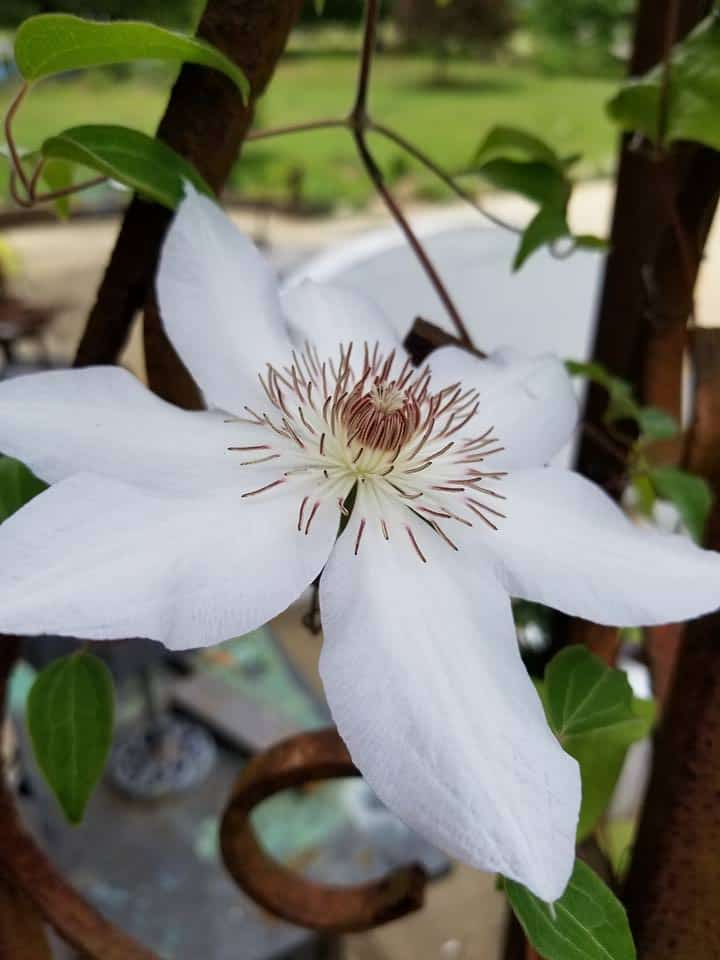 How to get beautiful clematis blooms, Clematis, White Clematis, Henryi Clematis