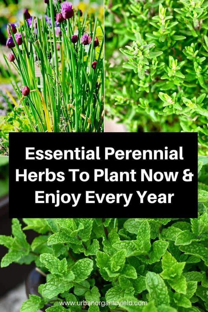 Essential Perennial Herbs To Plant Now & Enjoy Every Year