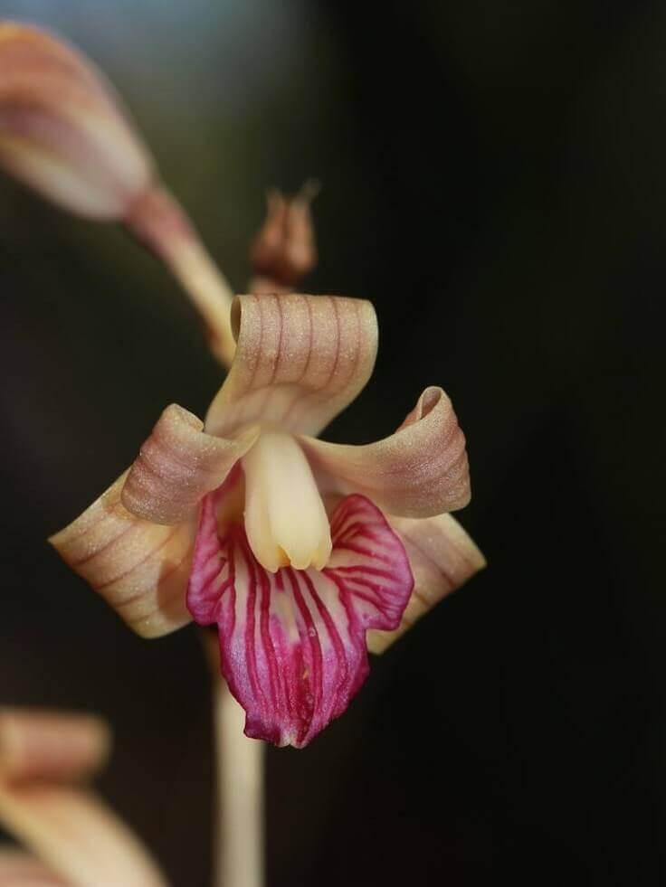 Hexalectris colemanii