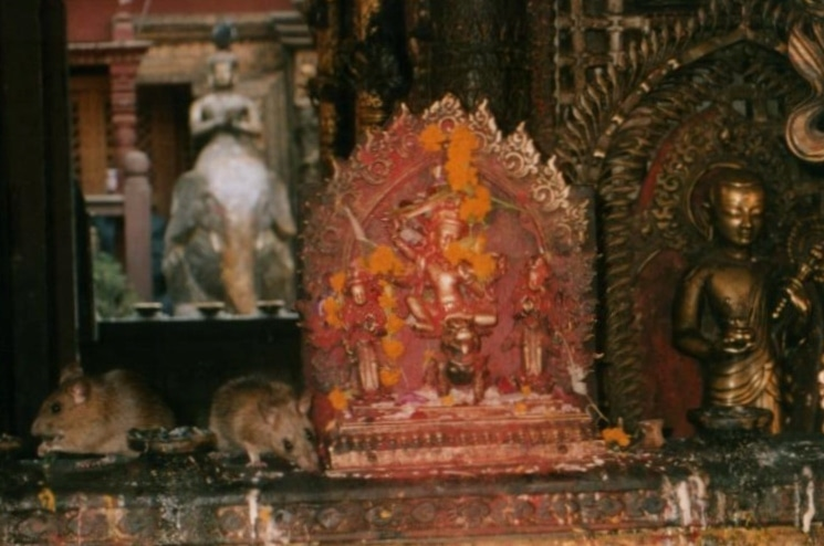 rats at a rat temple worst stories from travel