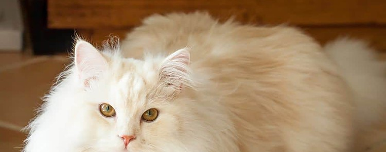 Persian Ragdoll cat long hair