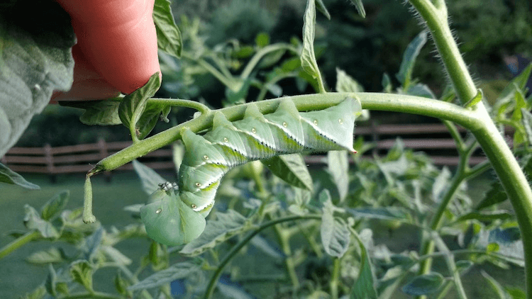 How Do I Protect My Tomato Plants From Bugs