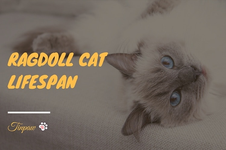 How-Long-Do-Ragdoll-Cats-Live-11