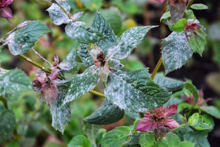 Does Vinegar Kill Powdery Mildew