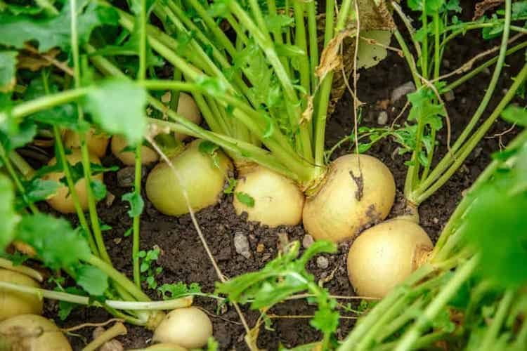 Turnips plant in india