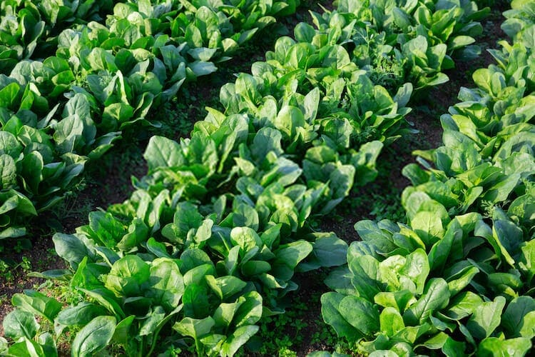 best time to plant spinach in texas