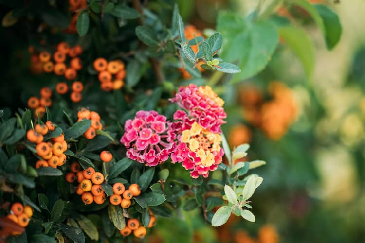 When to Prune Pyracantha Plant
