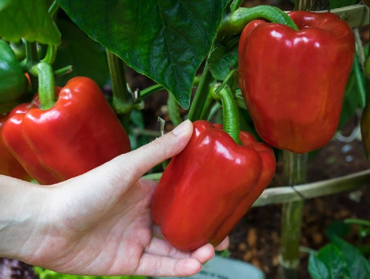 Cómo Cultivar Pimientos En Maceta De Manera Súper Sencilla