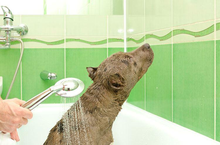 bathe your pit bull