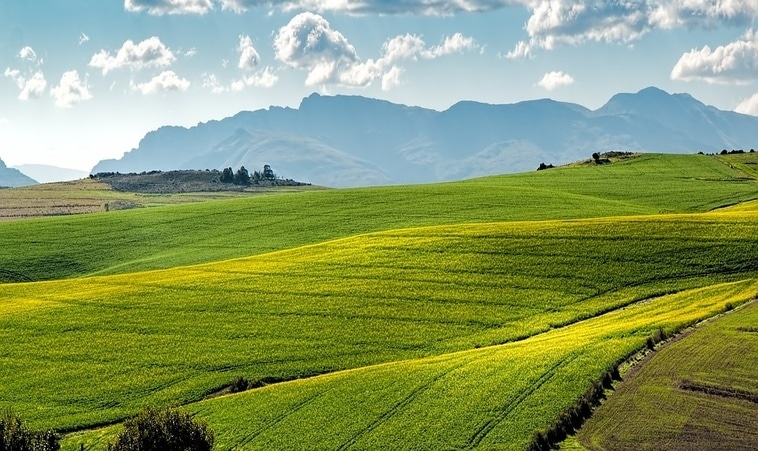 Canola-Fields-Overberg