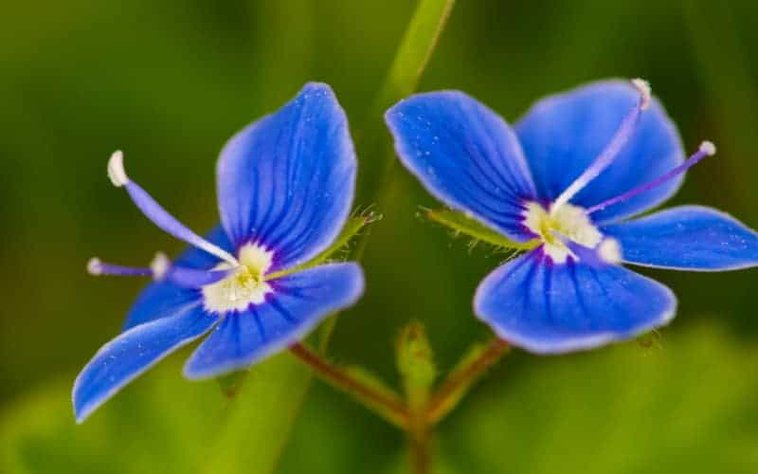 Is Speedwell Poisonous to Dogs