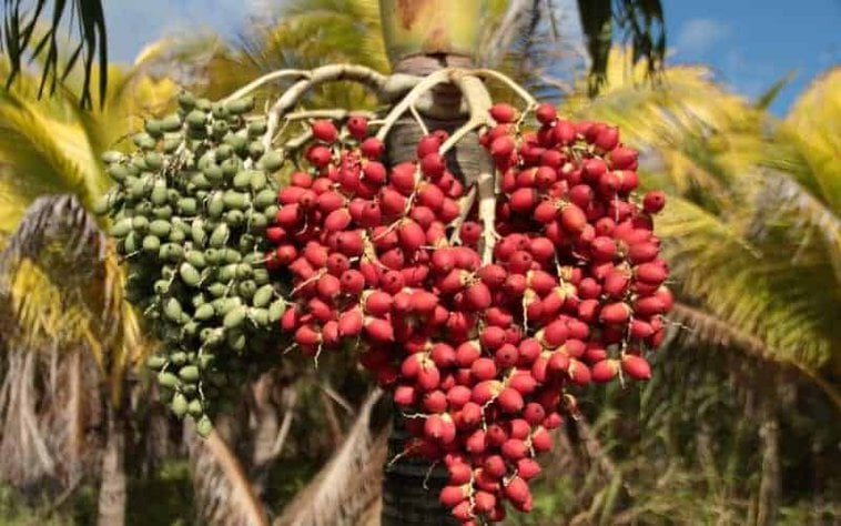 Should Seed Pods Be Removed From Palm Trees