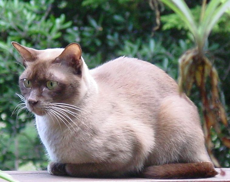 Photo of Burmese Cat – A Brick Wrapped in Silk