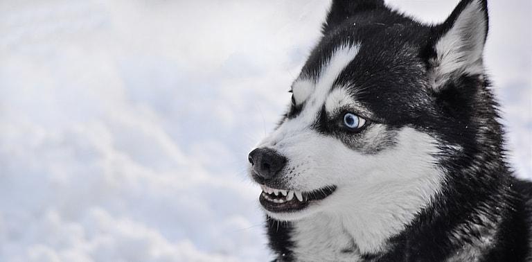 Angry husky