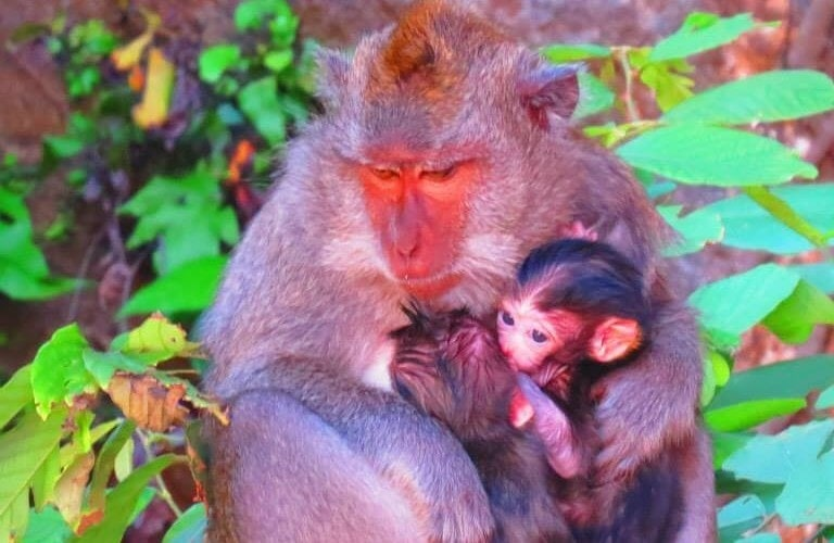 Monkeys holding babies