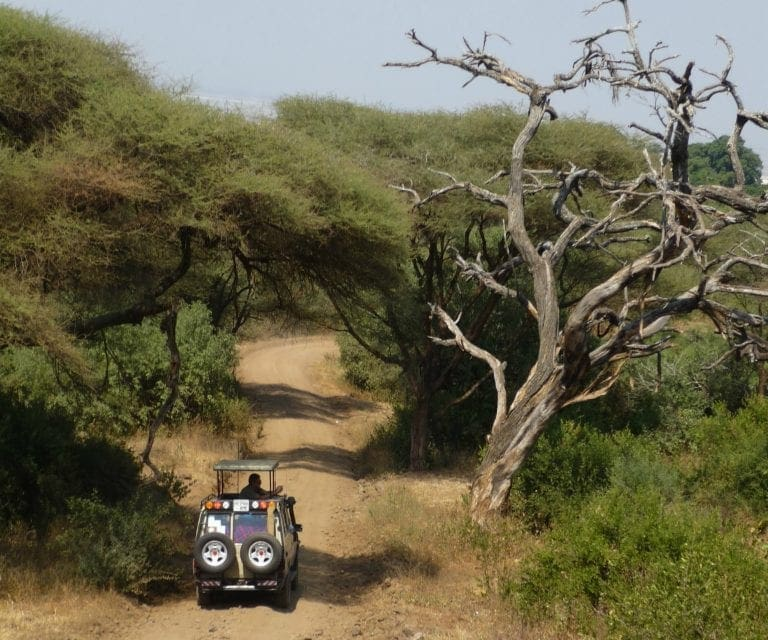 Safari vehicle drives down winding dirt road that is lined with acadia tress