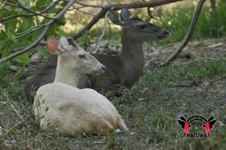 Albino Deer (<i> Odocoileus virginianus truei </ i>)