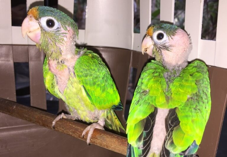 Catano Parakeet (<i>Eupsittula canicularis</i>)