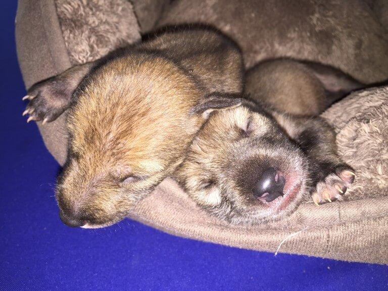 Cachorros de Coyote (<i>Canis latrans</i>)
