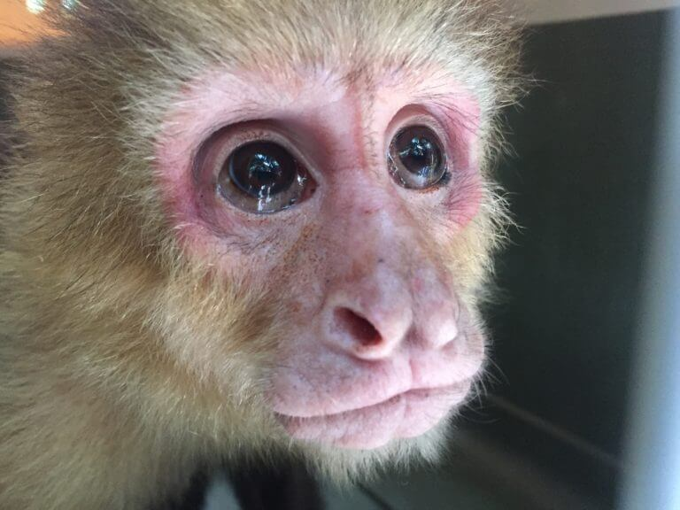Rescate de Monos Cara Blanca (<em>Cebus imitator</em>)