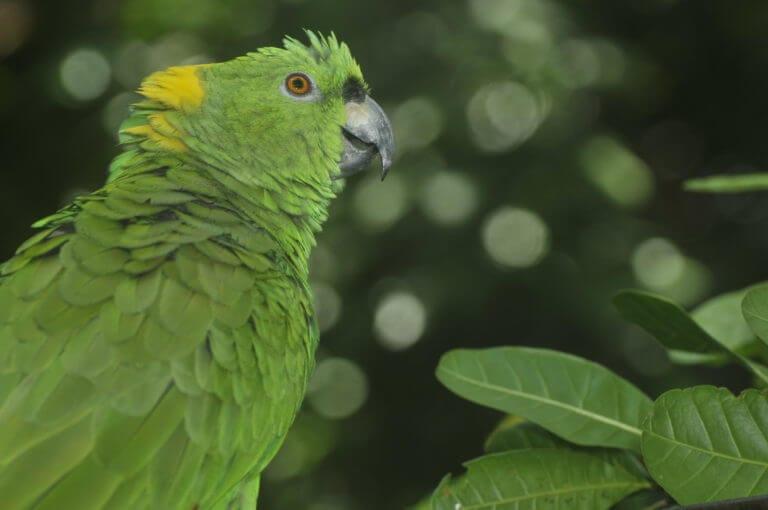 Lora copete amarillo en el Santuario de Lapas NATUWA, Costa Rica.