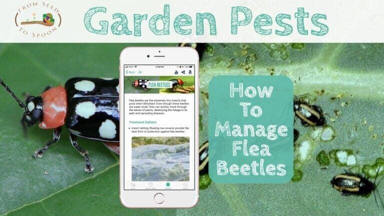 Flea Beetles blog post