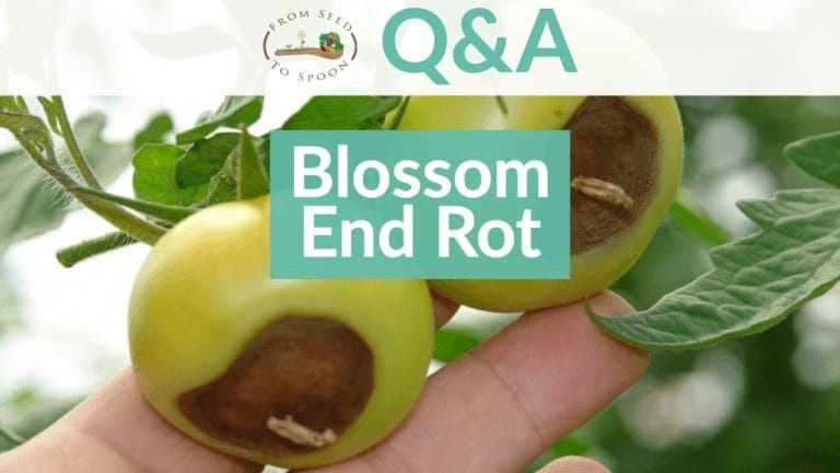 Blossom End Rot
