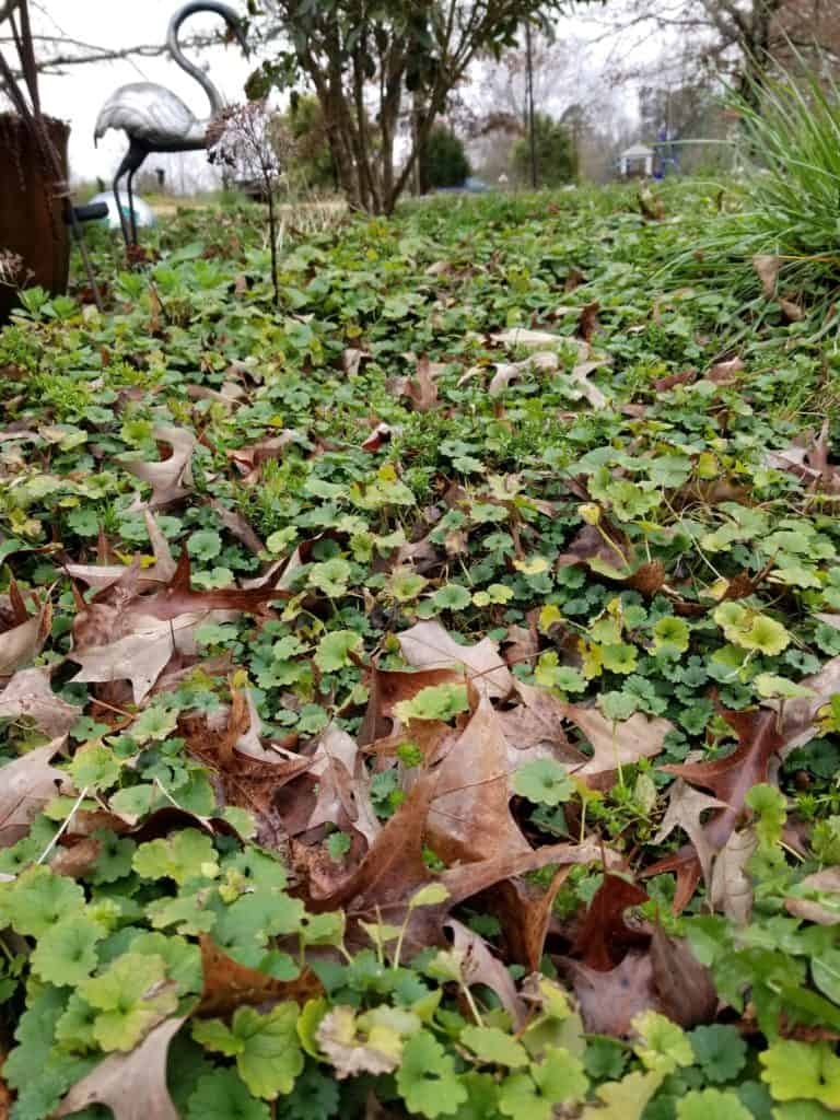 Creeping Charlie, Lawn Weeds, How to identify & control creeping charlie