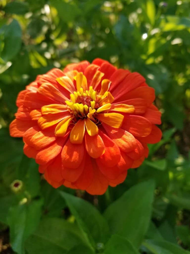 Cutting Garden, Zinnias, growing flowers from seeds