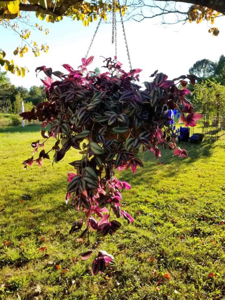 How to Overwinter Wandering Jew, Huge hanging basket of purple foliage wandering jew