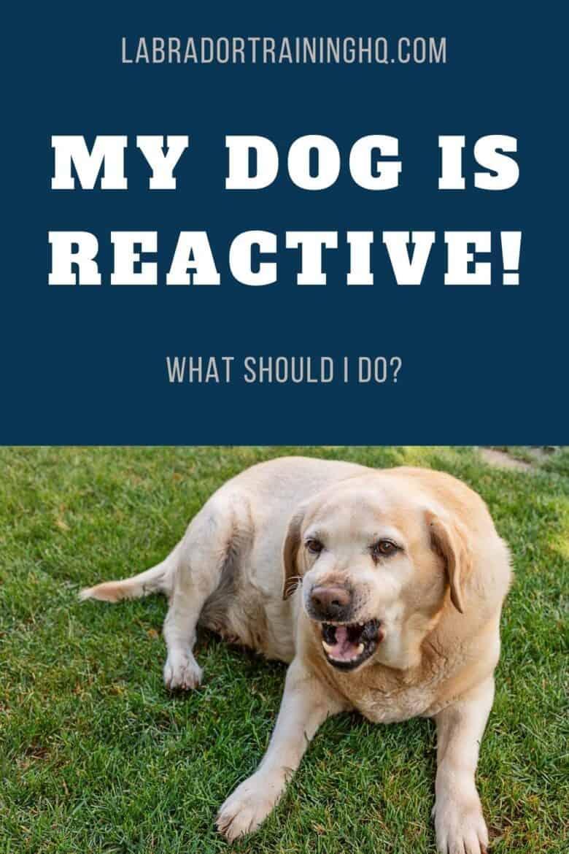 My Dog Is Reactive! What Should I Do - Yellow Labrador Retriever growling