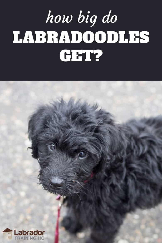How Big Do Labradoodles Get? - Black Labradoodle puppy looking back towards the camera