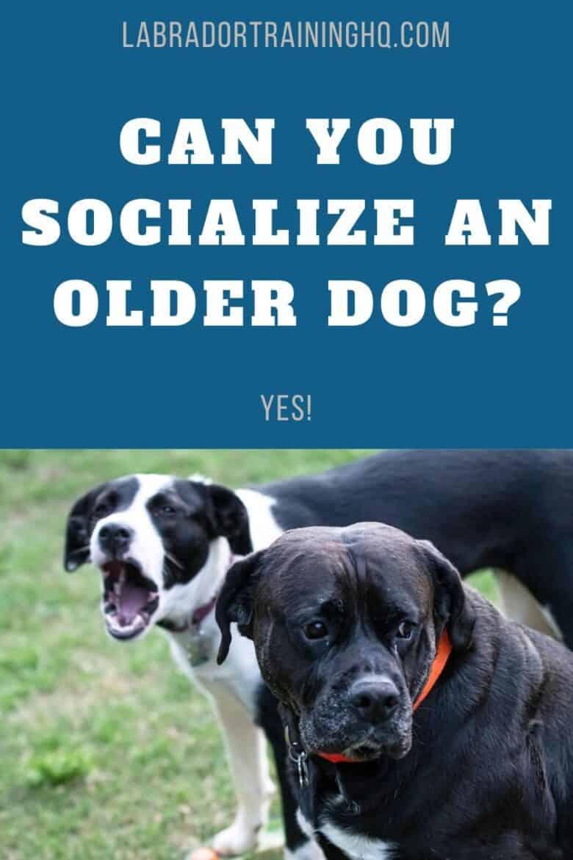 Can You Socialize An Older Dog - YES! - Older dog sitting with dog behind him barking