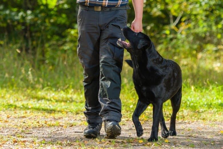 Black Labrador Retriever in the heel position on a walk.
