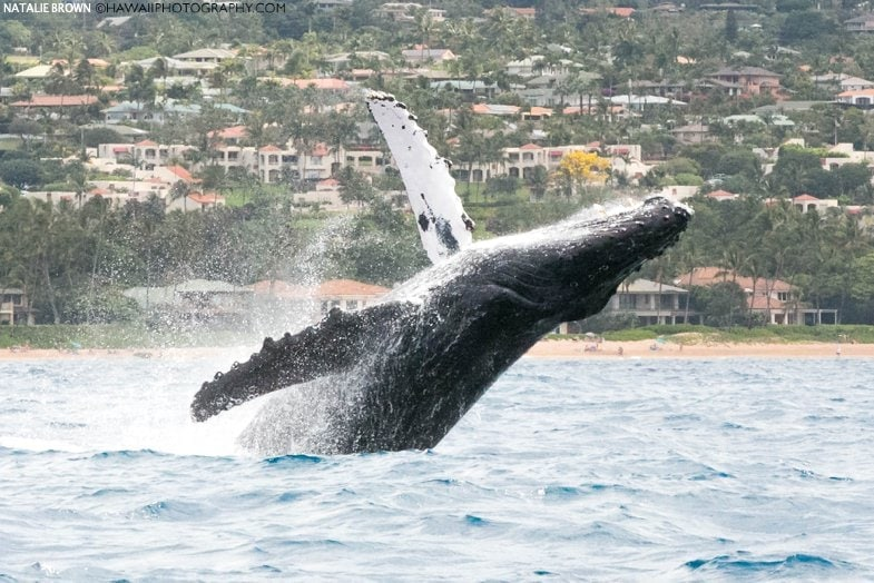whale watch in Kihei Maui