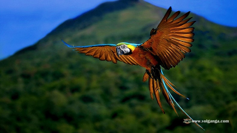 Beautiful flying parrot