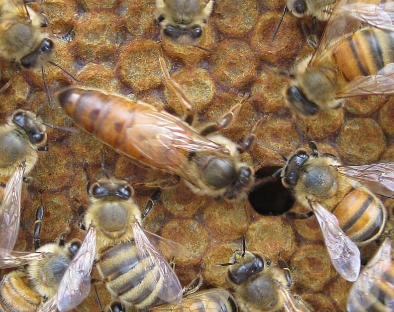 queen honey bee on comb