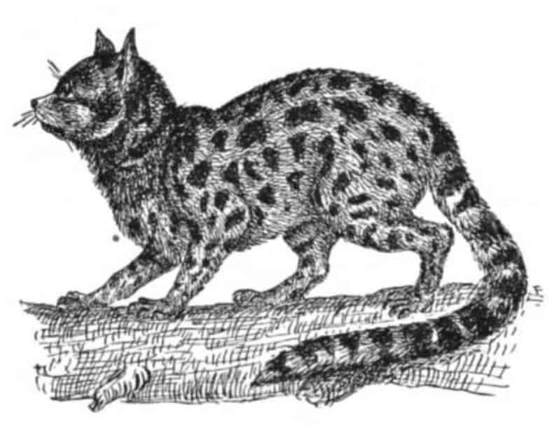 Drawing of a margay cat. From: Pets for Pleasure and Profit, Alpheus Hyatt Verrill, 1915