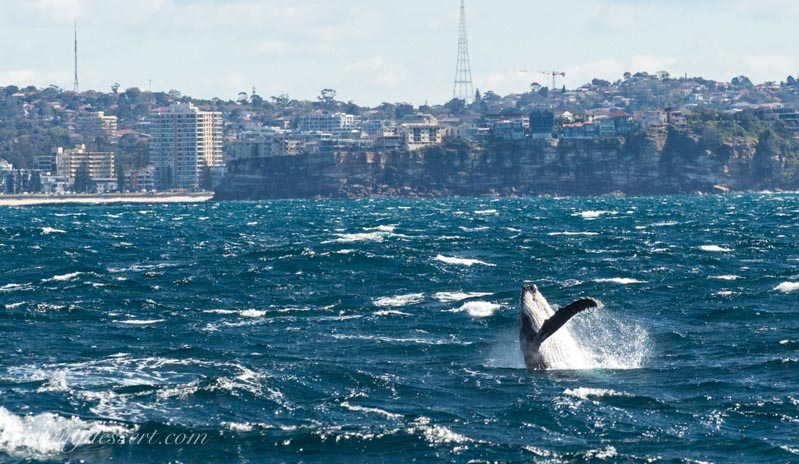 Whale fin splashing off the coast of Australia with cliffs and a view of Sydney in the background