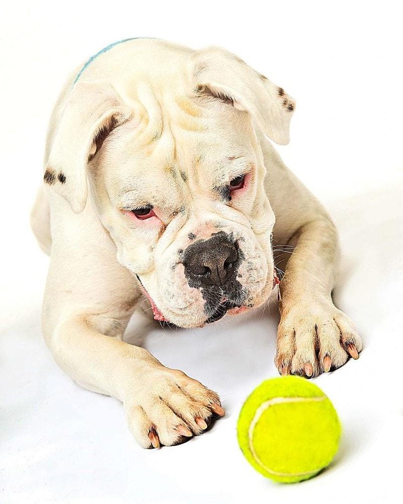 boxer dog chasing ball at photoshoot Offley Photography