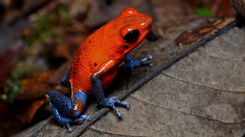 Image: Tiny red frog with bright blue legs (Blue Jean frogs, or  Strawberry frogs)