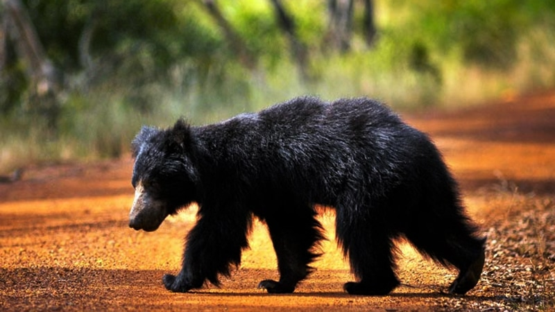 Wilpattu National Park Bear side