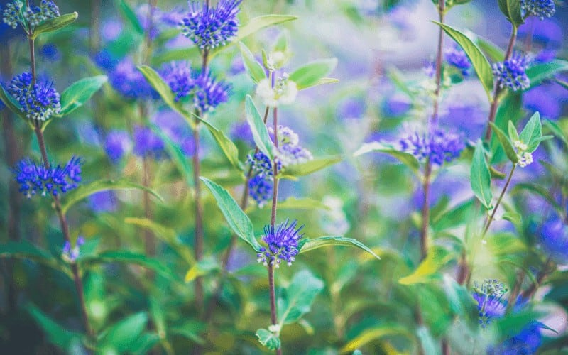 Blue Star Creeper and Blue Mist Spirea